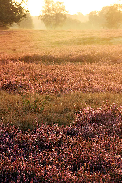 Bloeiende Strabrechtse heide tijdens de vroege ochtend