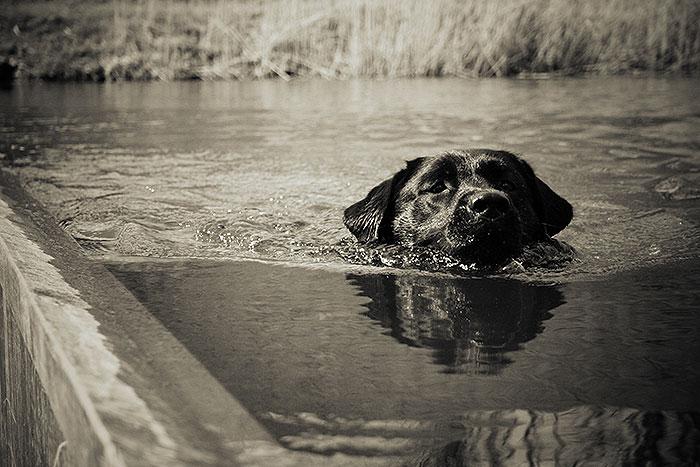 Op ooghoogte zwemt een hond voorbij bij de Mozesbrug
