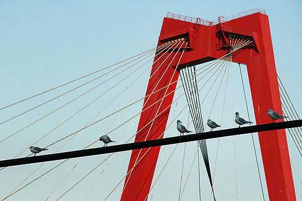 Willemsnbrug met de Waslijn vol meeuwen