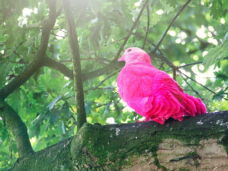 Waarom de Efteling gekleurde duiven had