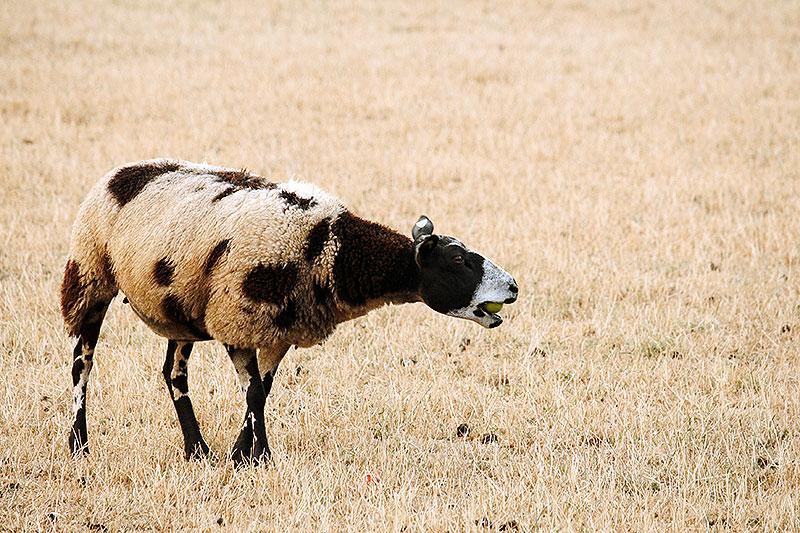 Dan voeren we de schapen