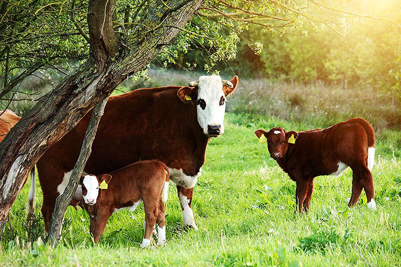 Fotoserie: Op zoek naar de koeien