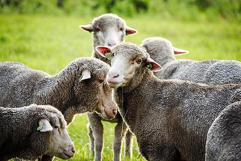 De bijzondere schapen van Croy