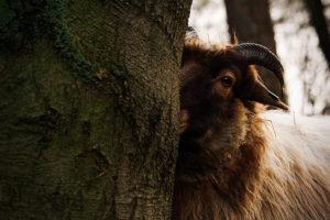 Verlegen schaap