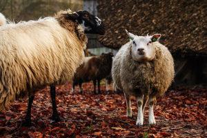 De schapen van het Openluchtmuseum