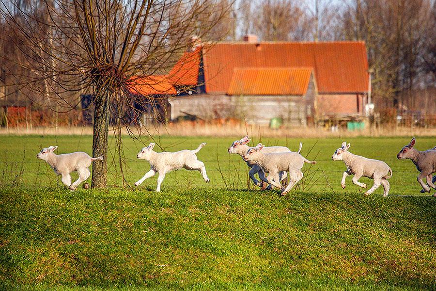 Fotoserie: Blije springlammetjes
