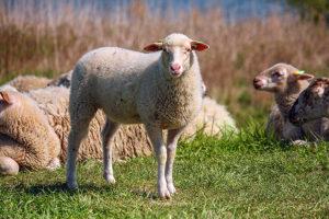 Lammetjes in Cuijk