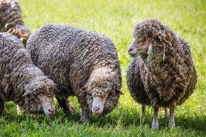 De schapen van Croy