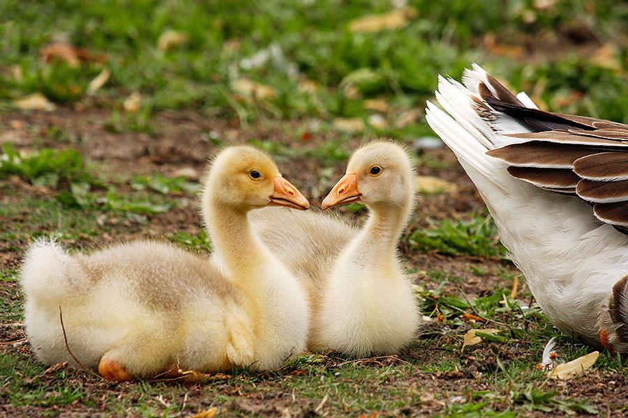 Fotoserie: Humeurverhogende ganzenbaby's