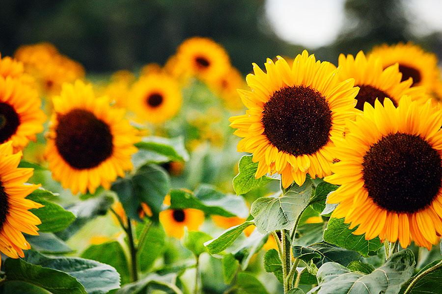 Fotoserie: Zonnige bloemen